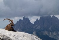 ibex wildleft walks dolomites europe